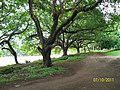 Banyan Trees near Fergusson Clllege Ground - panoramio.jpg