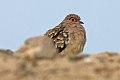 Bare-faced Ground-Dove (Metriopelia ceciliae) (8077615339).jpg