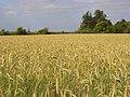 Barley, White Waltham - geograph.org.uk - 872770.jpg