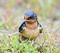 Barn Swallow gathering nesting material.jpg