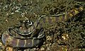Barred Moray (Echidna polyzona) (8461226286).jpg