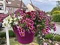 Basket of Calibrachoa parviflora by A - 2020-06-18.jpg