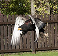 Bateleur Eagle 1 (3937525945).jpg