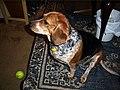 Beagle de 5 años.jpg