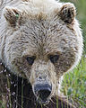 Bear Head (5300811225).jpg