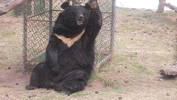 Bear at Chhatbir Zoo.jpg