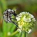 Bee Fly - Toxophora amphitea (19461990785).jpg