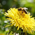 Bee On Dandelion (215165847).jpeg