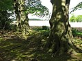 Beeches on woodland edge - geograph.org.uk - 1297841.jpg