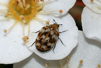 A Carpet Beetle (Anthrenus verbasci)