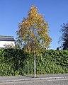 Betula ermanii SE4 02 MG 5041.jpg