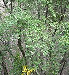 Betula occidentalis 2.jpg
