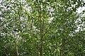 Betula platyphylla var. japonica 4zz.jpg