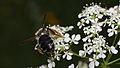 Biene auf Giersch.jpg
