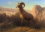 Bierstadt Albert A Rocky Mountain Sheep Ovis Montana.jpg