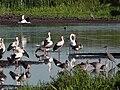 Bingenheimer Ried Vogelvielfalt-08 2018-08-06.jpg