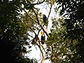 Bird Wreathed Hornbill Rhyticeros undulatus IMG 9195 (8).jpg