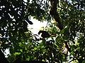 Bird Wreathed hornbill Rhyticeros undulatus IMG 7837 08.jpg