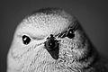 Birdface (14712791316).jpg