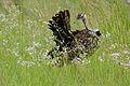 Black-bellied Bustard (Lissotis melanogaster) (17325634046).jpg