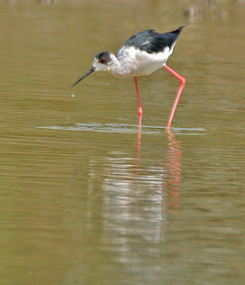 Black-winged Stilt (Himantopus himantopus) at Bharatpur I IMG 5561.jpg