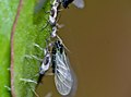 Black Bean Aphids (Aphis fabae) (14486302082).jpg