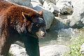 Black Bear (3916913175).jpg
