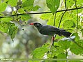 Black Bulbul (Hypsipetes leucocephalus) (37339008660).jpg