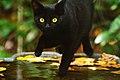 Black Cat in Birdbath (5118409269).jpg