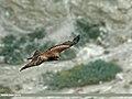 Black Kite (Milvus migrans) (24193762242).jpg