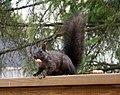 Black Squirrel 0728 (4552019516).jpg