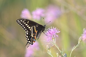 image of Black Swallowtail (Papilio polyxenes) (14542161370)
