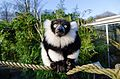 Black and white Ruffed Lemur (24122597565).jpg
