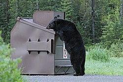Black bear and dumpster (18306490244).jpg