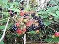 Blackberry fruits12.jpg