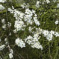 Blackthorn, Prunus spinosa - geograph.org.uk - 740445.jpg