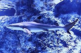 Blacktip reef shark. (Tsumaguro).jpg