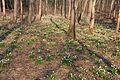 Bledule jarní v PR Králova zahrada 14.jpg