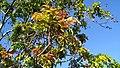 Blepharocarya involucrigera - colourful new growth.jpg