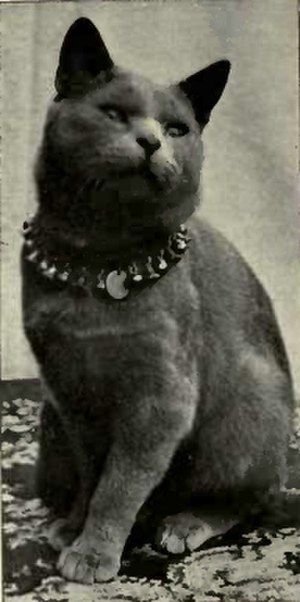 "British Shorthair - An early example of the ""English type"" Blue Shorthair, from Frances Simpson's Book of the Cat, 1903"