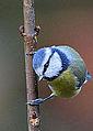 Blue Tit, on sapling (11779648964).jpg