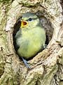 Blue Tit fledgling 20052009.jpg
