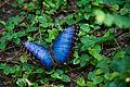 Blue butterfly (2560414252) (2).jpg