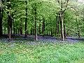 Bluebell carpet - geograph.org.uk - 170076.jpg