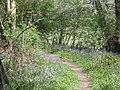 Bluebells beside the path through Mockley Wood - geograph.org.uk - 1265135.jpg