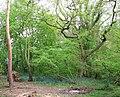 Bluebells in King's Covert - geograph.org.uk - 1282503.jpg