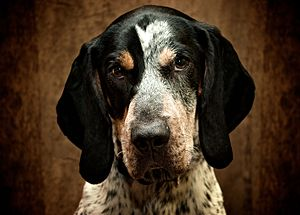 Bluetick Coonhound - A head shot of a Bluetick Coonhound, showing tan muzzle and blueticked blaze.
