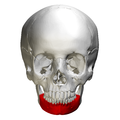 Body of mandible - skull - anterior view.png