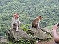 Bonnet Macaques Macaca radiata Kanheri SGNP Mumbai by Raju Kasambe DSCF0056 (1) 10.jpg