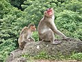 Bonnet Macaques Macaca radiata Kanheri SGNP Mumbai by Raju Kasambe DSCF0056 (1) 21.jpg